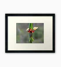 The Donkey Orchid (Diuris corymbosa) Framed Print
