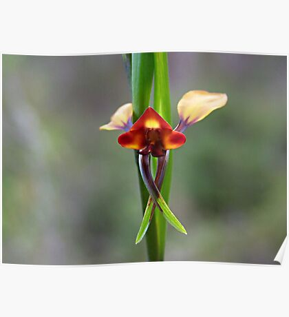 The Donkey Orchid (Diuris corymbosa) Poster