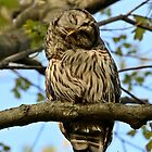 Barred owl mom preening by Heather King