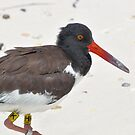American Oystercatcher by Jeff Ore