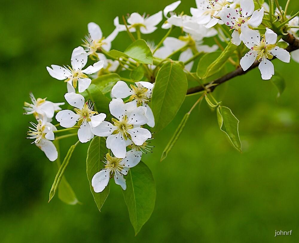 Apple Blossom, Beaconsfield, Victoria. by johnrf