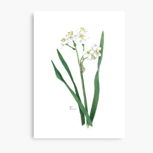 Cluster Daffodils Botanical Illustration Metal Print