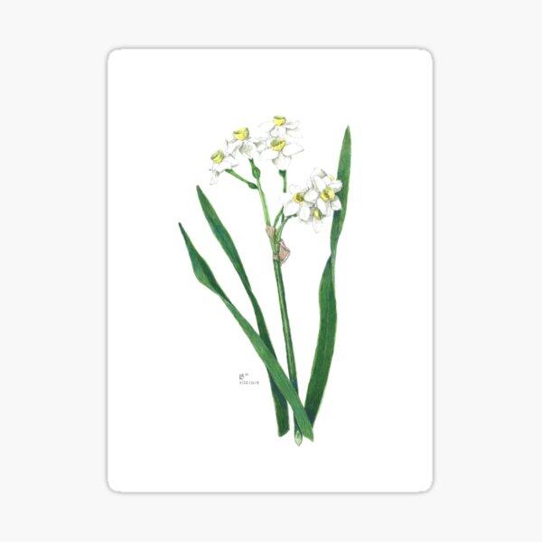 Cluster Daffodils Botanical Illustration Sticker