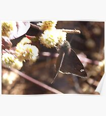 Duskywing skipper butterfly Poster