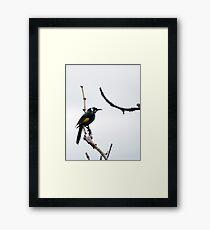 honeyeater Framed Print