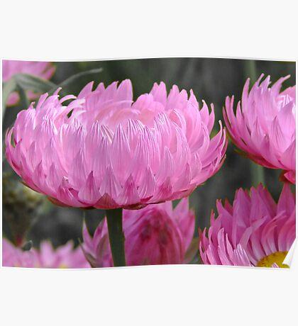 Pink perfection - Growing wild, Wongan Hills, Western Australia Poster