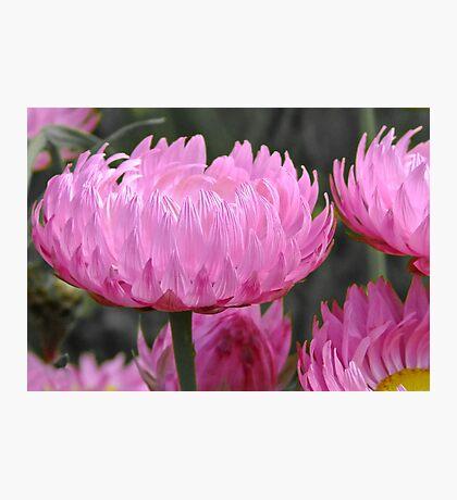 Pink perfection - Growing wild, Wongan Hills, Western Australia Photographic Print
