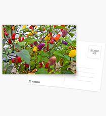 Chilli Fiesta Postcards