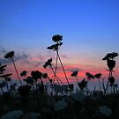 Queen Anne Lace with Sunset by ienemien