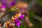 Female Common Darter by Neil Bygrave (NATURELENS)