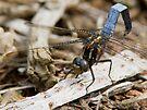 Male Keeled Skimmer by Neil Bygrave (NATURELENS)