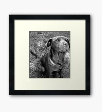The Chocolate Lab Puppy Framed Print