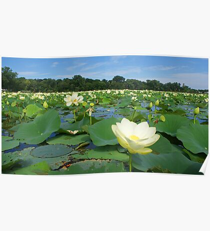 Field of Lillies Poster