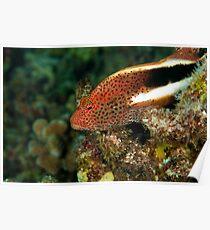 Stocky Hawk Fish Poster