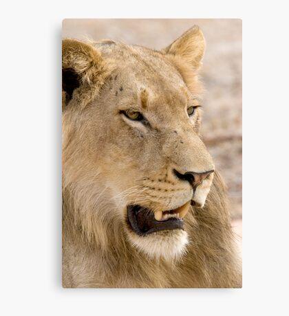 Juvenile Male Lion Canvas Print
