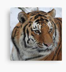 Portrait of An Amur Tiger Leinwanddruck