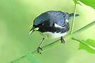 Black-Throated Blue Warbler by WorldDesign