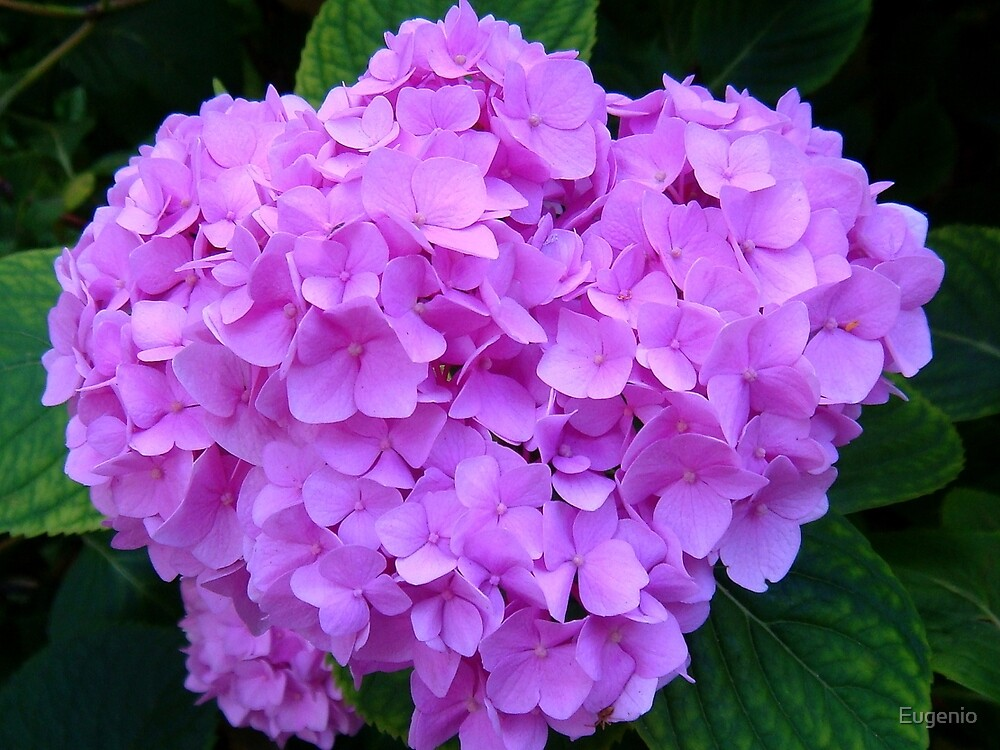Purple Flowers... by Eugenio