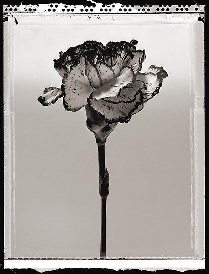 carnation by David Milnes