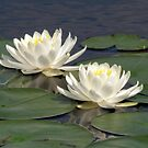 Pristine Pair ~ Water Lilies by Rusty Katchmer