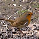 Robin Redbreast by Trevor Kersley