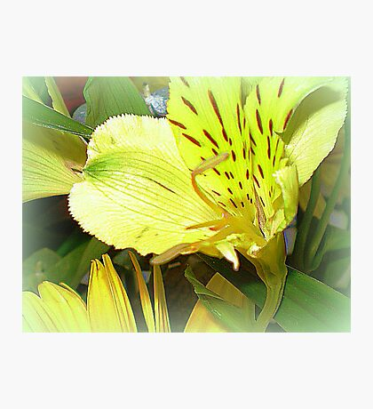 Alstromeria - Sweet and dainty on table  Photographic Print