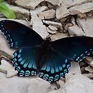 Red-spotted Purple Butterfly by Michele Markley