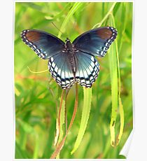 Red-Spotted Purple Admiral Poster
