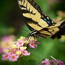 Monarch by Rob Dodd