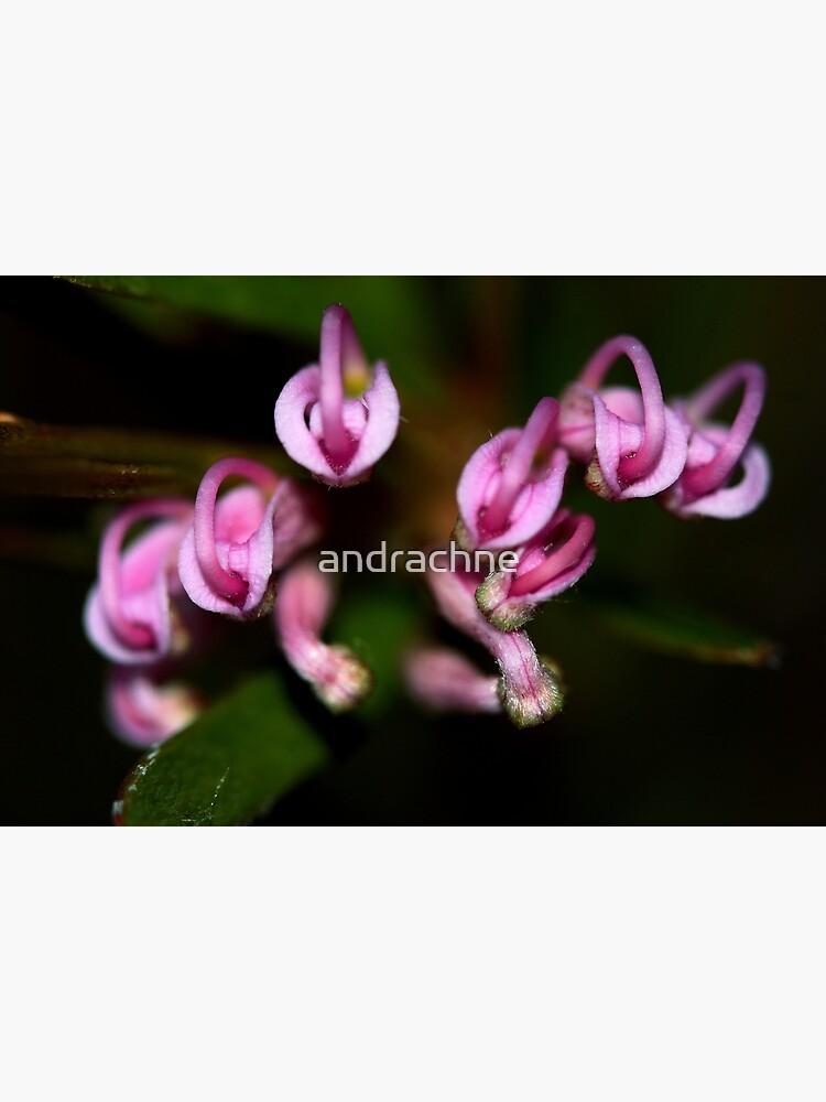 Grevillea humilis subsp. humilis by andrachne