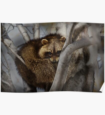 Raccoon in Tree Poster