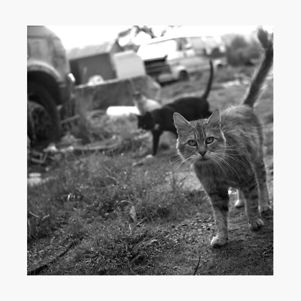 The Feral Life: Feral Cats in B&W Photographic Print