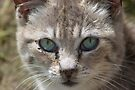 Silver Tabby Feral Cat by Chriss Pagani