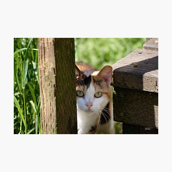 Calico Feral Cat At Feeding Photographic Print