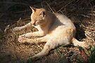 Orange Feral Cat Nap by Chriss Pagani