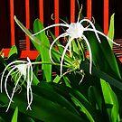 Spinnenpflanze von vette