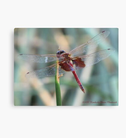 Dragonfly ~ Red Saddlebags (Male) Canvas Print