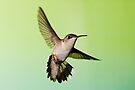 Female Hummingbird with Large Tail by WorldDesign