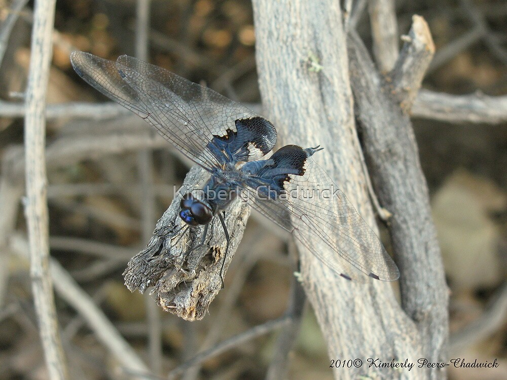 Dragonfly ~ Black Saddlebags (Male) by Kimberly Chadwick