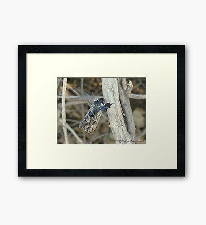 Dragonfly ~ Black Saddlebags (Male) Framed Print