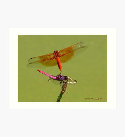 Dragonflies ~ Roseate Skimmer & Flame Skimmer Art Print