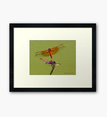 Dragonflies ~ Roseate Skimmer & Flame Skimmer Framed Print