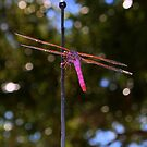 Magenta Dragonfly by Colleen Rohrbaugh