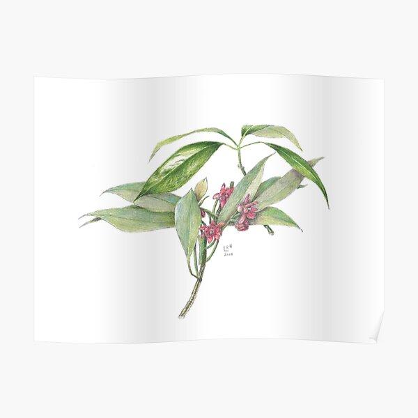 Star Anise Botanical Illustration Poster