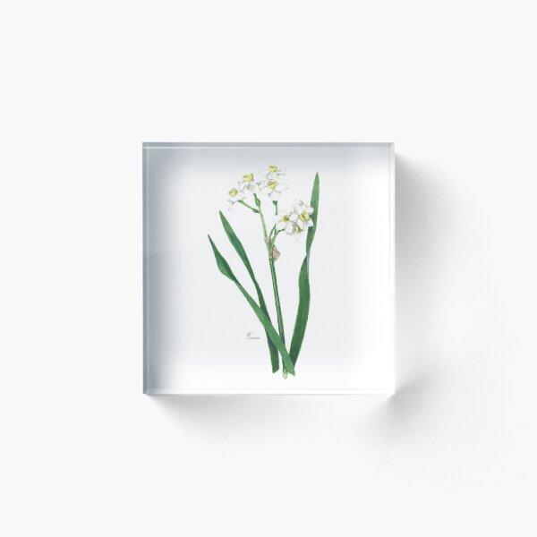 Cluster Daffodils Botanical Illustration Acrylic Block