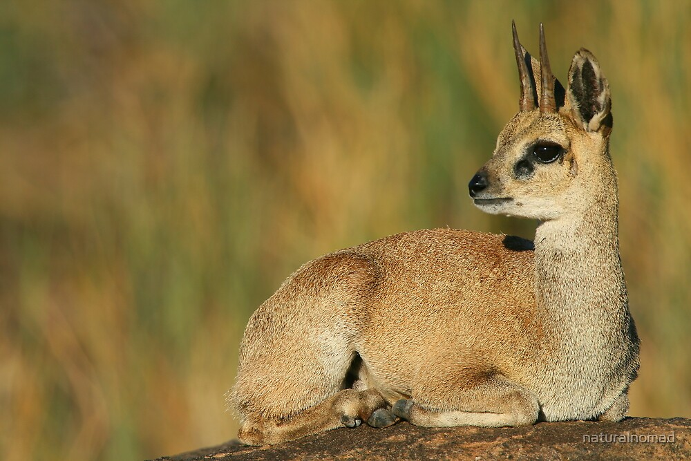 Klipspringer Buck by naturalnomad