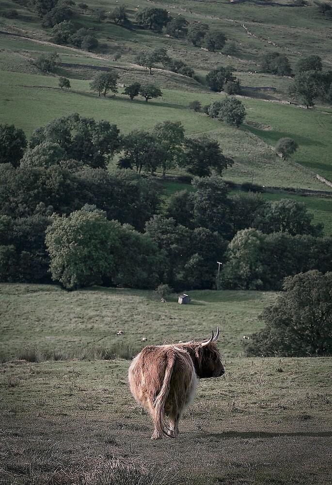highland cattle by David Milnes
