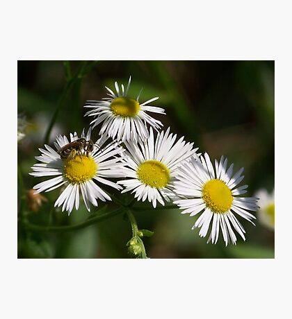 White aster and a little visiting bee.  Photographic Print
