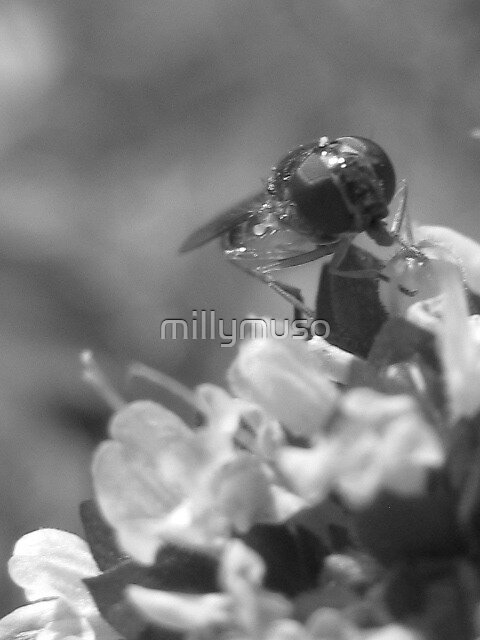black and white hover fly by millymuso