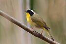 Common Yellowthroat Warbler by WorldDesign
